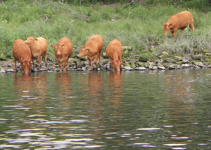 cows drinking from the River Dart