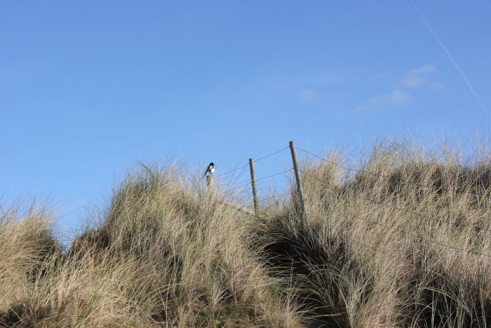 magpie on a fence in the dunes near St Agnes, Cornwall